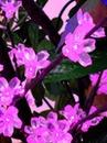 EUROPALMS LED Creangă inflorită cu 160 LED-uri, roz, 1.2m