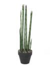 EUROPALMS Aloe Gigantica verde, 80cm