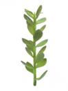 EUROPALMS Plantă suculentă