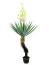 EUROPALMS Palmier Yucca  inflorit, 222cm