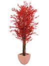EUROPALMS Ficus roșu cu mai multe trunchiuri,180cm