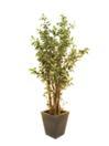 EUROPALMS Ficus de lux cu ghiveci, 210cm