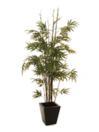 EUROPALMS Bambus cu trunchi negru, cu ghiveci, 152cm