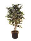 EUROPALMS Ficus cu frunze deschise, cu hiveci, 180cm