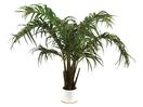 EUROPALMS Cocotier arbust, 230cm