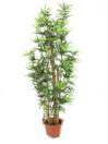 EUROPALMS Bambus cu tulpini naturale, 205cm