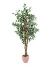 EUROPALMS Ficus pestriț, cu ghiveci, 180cm