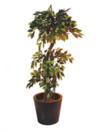 EUROPALMS Ficus sălbatic, 150cm