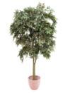 EUROPALMS Frasin verde, cu ghiveci,  220cm