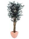EUROPALMS Ficus negru cu mai multe trunchiuri,180cm