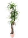 EUROPALMS Palmier Yucca cu 4 trunchiuri naturale, 150cm