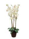 EUROPALMS Orhidee, albă, 80cm