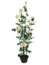 EUROPALMS Tufă de trandafiri crem cu ghiveci, 140 cm