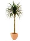EUROPALMS Palmier Yucca cu ghiveci, 150cm