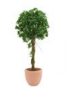 EUROPALMS Copac Ficus sferic in ghiveci, 100cm