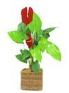EUROPALMS Anthurium, 6 flori, 90cm