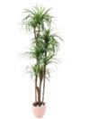 EUROPALMS Palmier Yucca cu 5 trunchiuri naturale, 180cm