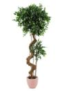 EUROPALMS Ficus cu trunchi bonsai,170cm
