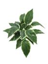 EUROPALMS Hosta verde cu alb, 51cm