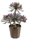 EUROPALMS Aeoniium verde oliv, 30cm