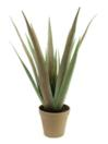 EUROPALMS Aloe ferox, 60cm