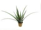 EUROPALMS Aloe ferox, 80cm