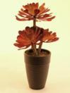 EUROPALMS Aeoniium roșu inchis, 28cm