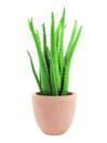 EUROPALMS Aloe vera, 63cm