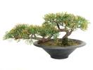 EUROPALMS Cedru Bonsai, 40cm