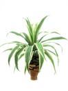 EUROPALMS Ananas, 75 cm