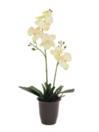 EUROPALMS Orhidee crem, 57cm