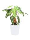EUROPALMS Caladium alb cu verde 35cm
