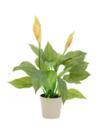 EUROPALMS Spathiphyllum, 50cm