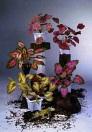 EUROPALMS Begonia verde cu roșu