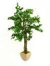 EUROPALMS Ficus cu mai multe trunchiuri, 150cm