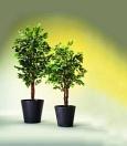 EUROPALMS Ficus cu mai multe trunchiuri, 210cm